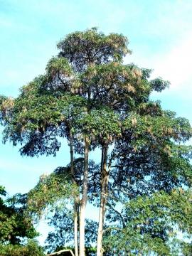 Pohon dan Buah